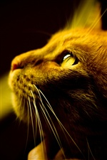 Yellow olhos de gato facial close-up iPhone Wallpaper