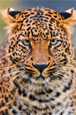 Cara Leopard close-up iPhone Wallpaper