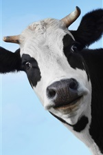 Cara da vaca, fundo azul iPhone Wallpaper