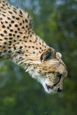 Cheetah salto iPhone Wallpaper