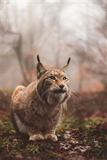 Gato selvagem, lince iPhone Wallpaper