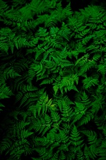 Folhas verdes do Fern, planta iPhone Wallpaper